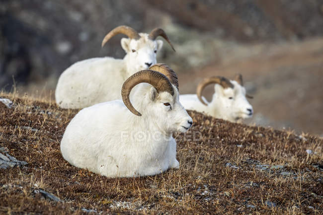 Dall Sheep rams resting on grass in the high country in Denali National Park and Preserve in Interior Alaska in autumn, Alaska, United States of America — Stock Photo