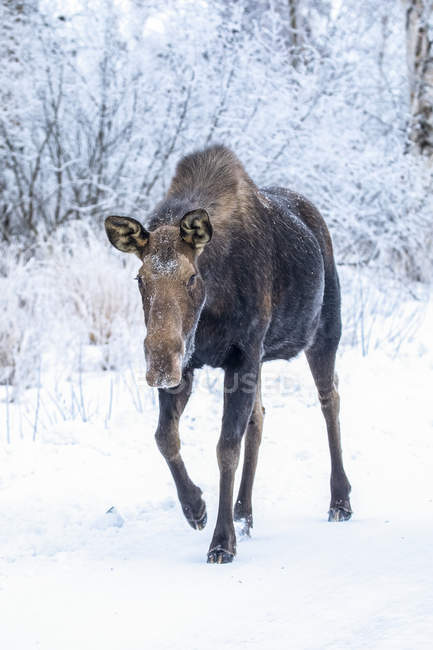 Scenic view of big bull moose standing in winter snow - foto de stock