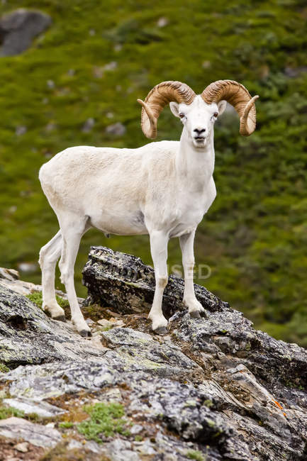 Full curl Dall sheep ram on a rocky ridge in Denali National Park and Preserve, Interior Alaska; Alaska, United States of America - foto de stock
