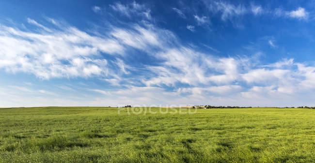 Campo di colza verde con nuvole drammatiche e cielo blu, a nord di Calgary, Alberta, Canada — Foto stock