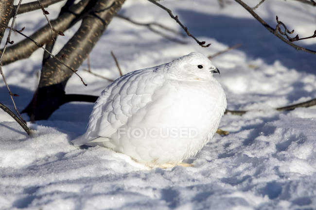 Willow Ptarmigan standing in snow under a tree with white winter plumage — Foto stock