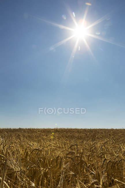 Campo d'orzo dorato con sunburst e cielo blu; Acme, Alberta, Canada — Foto stock