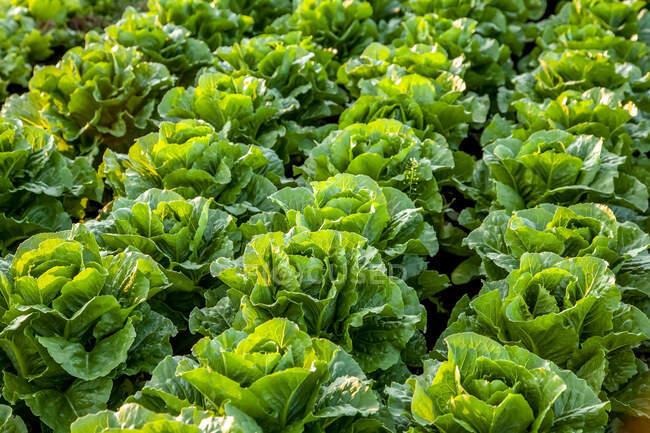 Урожай роменского салата растет в поле, Новая Шотландия, Канада — стоковое фото