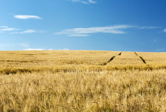Golden barley field with blue sky, West of Airdrie, Alberta, Canada — Stock Photo