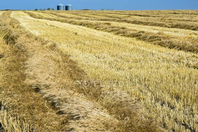 Золотой ячмень, срезанный в поле с линиями сбора урожая, щетиной и голубым небом, Бейсекер, Альберта, Канада — стоковое фото