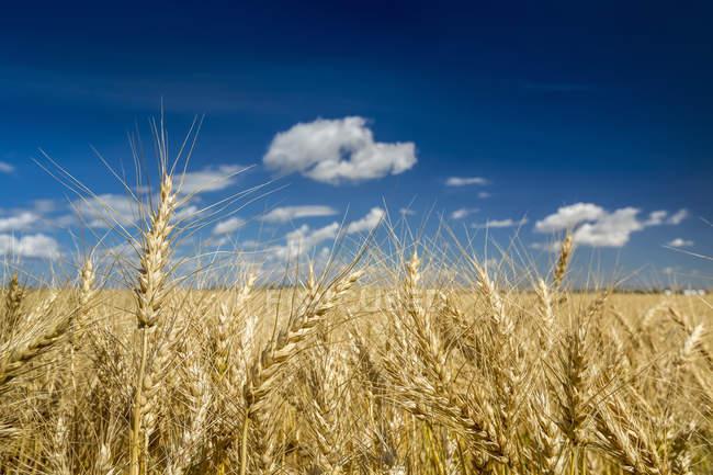 Primo piano di teste di grano dorato in un campo con cielo azzurro e nuvole, a nord di Calgary, Alberta, Canada — Foto stock