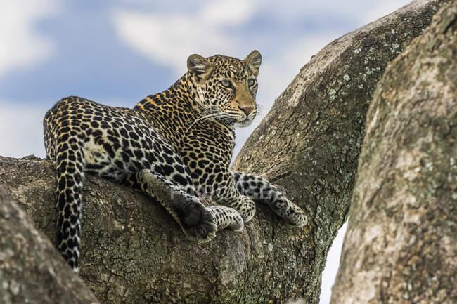 Vista panorámica del majestuoso leopardo en la naturaleza salvaje relajante en la roca - foto de stock
