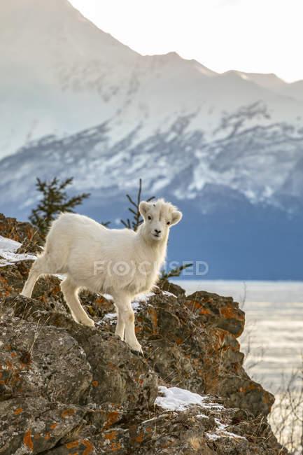 Dall Sheep lamb looks at camera from rocky ledge, Alaska, United States of America — Stockfoto