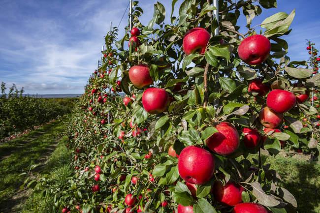 Яблука медовий в саду в Аннаполісі (Нова Шотландія, Канада). — стокове фото