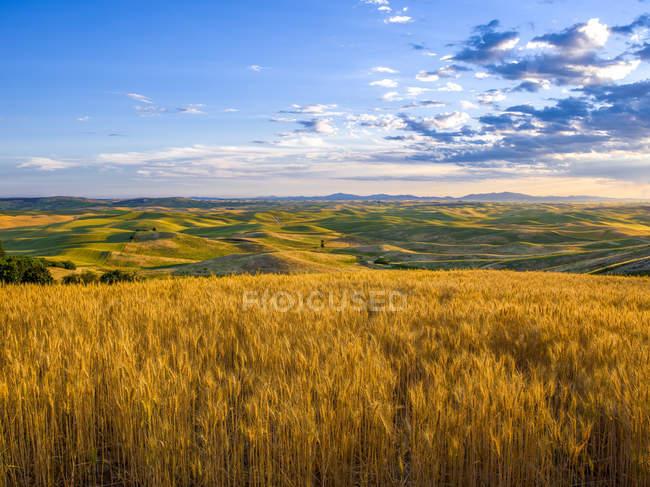 Goldenes Weizenfeld und ferne Berge am Horizont bei Sonnenuntergang, das Palais, Washington, vereinigte Staaten von Amerika — Stockfoto