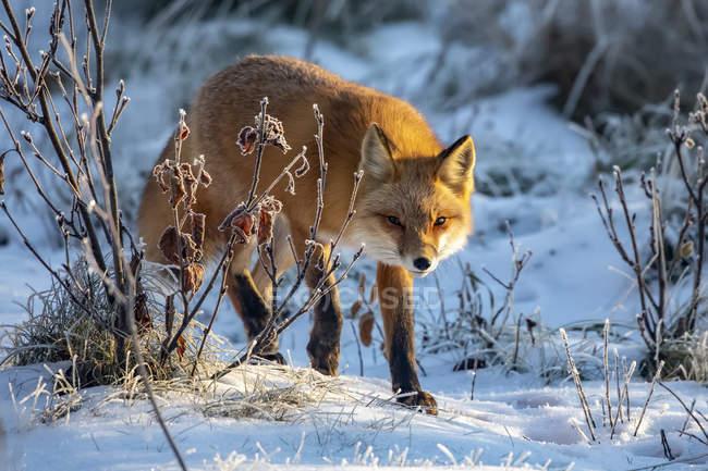 Cute red fox in winter snow — Stock Photo
