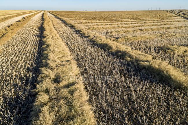 Veduta delle linee di canola tagliata in un campo, a ovest di Beiseker; Alberta, Canada — Foto stock