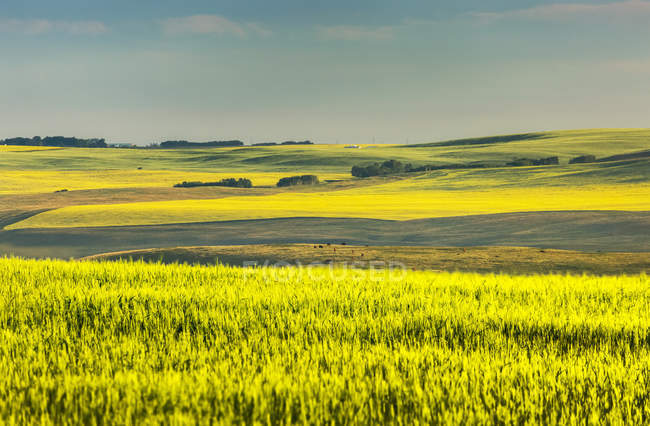 Glowing flowering canola field on rolling hills at sunrise, North of Calgary; Alberta, Canada — Stock Photo