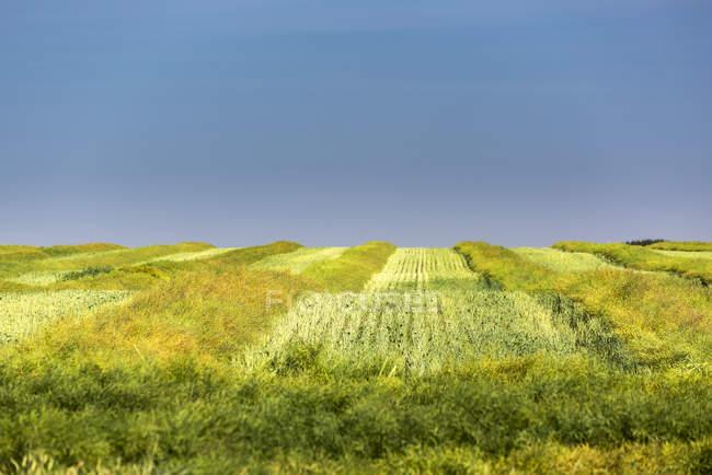 Зелене розріджене канольне поле рядами зі шпильками і синім небом на задньому плані, Байзекер, Альберта, Канада. — стокове фото