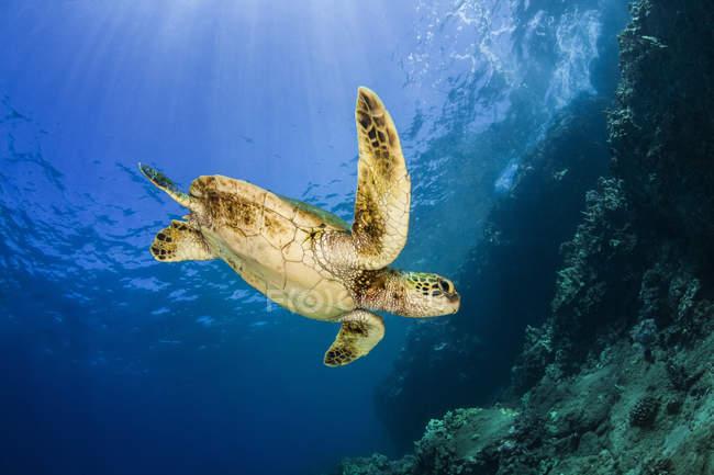 Jeune tortue de mer verte (Chelonia mydas) nageant jusqu'au récif après avoir fait une pause à la surface ; Makena, Maui, Hawaï, États-Unis d'Amérique — Photo de stock