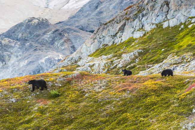 Orsi neri su una collina con ghiacciaio Exit nel Kenai Fiords National Park, Alaska centro-meridionale; Alaska, Stati Uniti — Foto stock
