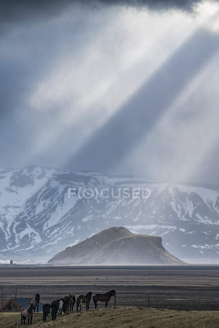 Group of horses standing on a knoll with beautiful light beams shining behind them creating an epic Iceland scene; Iceland — Stock Photo