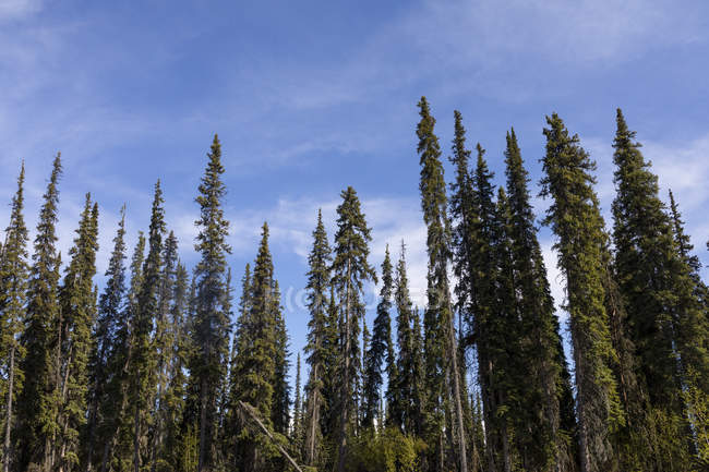 Black spruce forest on the banks of Beaver Creek, National Wild and Scenic Rivers System, White Mountains; Alaska, United States of America — Stock Photo