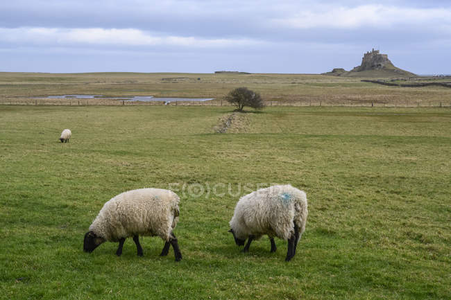 Black Faced Sheep Eating Grass In A Field Holy Island