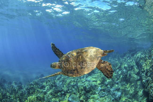 Hawaiianische grüne Meeresschildkröte (chelonia mydas) schwimmt in klarem, blauem Wasser; makena, maui, hawaii, vereinigte staaten von amerika — Stockfoto