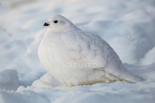 Salgueiro Ptarmigan de pé na neve com plumagem de inverno branco — Fotografia de Stock