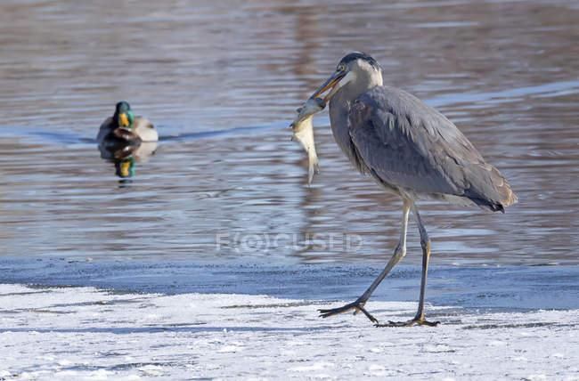 Grand héron bleu avec un poisson dans la bouche — Photo de stock
