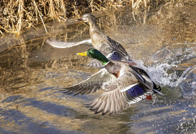 Male and female Mallards  taking off from a pond — стоковое фото