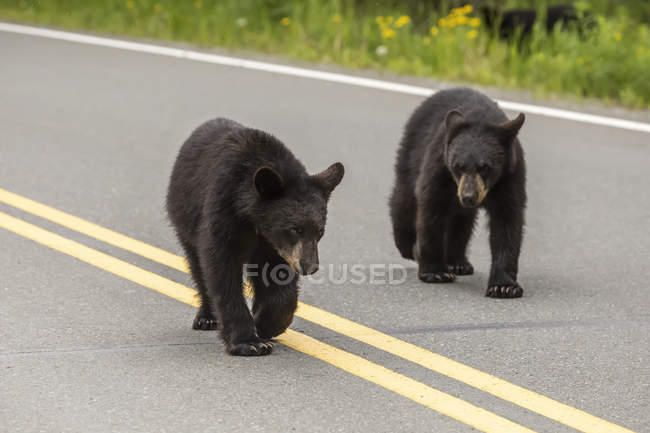 Black bear cubs walking on road beside forest — Stock Photo
