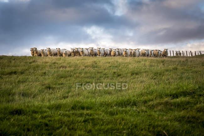 Schafherde, die in die Kamera blickt, nordwärts; kent, england — Stockfoto
