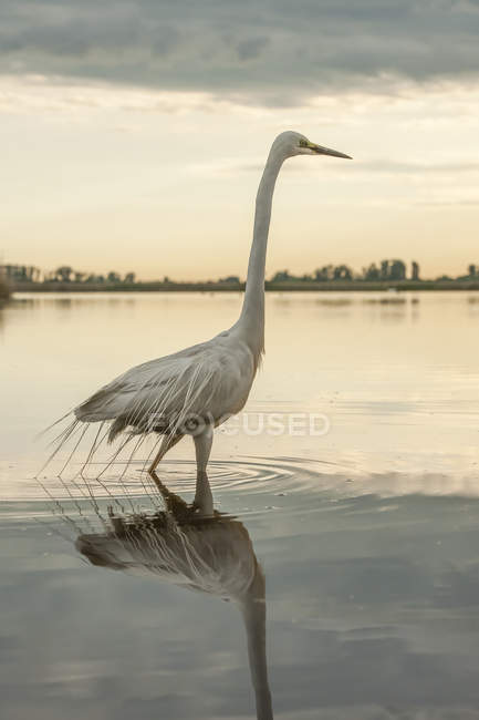 Great Egret wading in shallow water at sunset — Foto stock