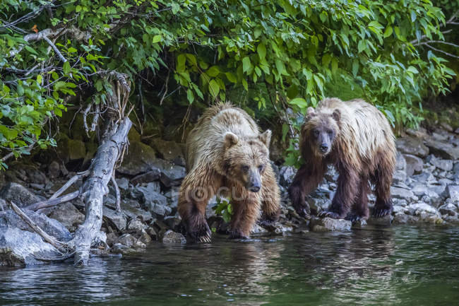 Grizzlybären angeln am Ufer des Taku-Flusses; Atlin, britische Kolumbia, Kanada — Stockfoto