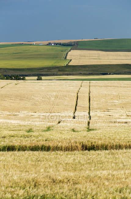 Золотое ячменное поле с катящимися зелеными и золотистыми полями на катящихся горлышках и голубым небом на заднем плане, к западу от Эйрдри, Альберта, Канада — стоковое фото