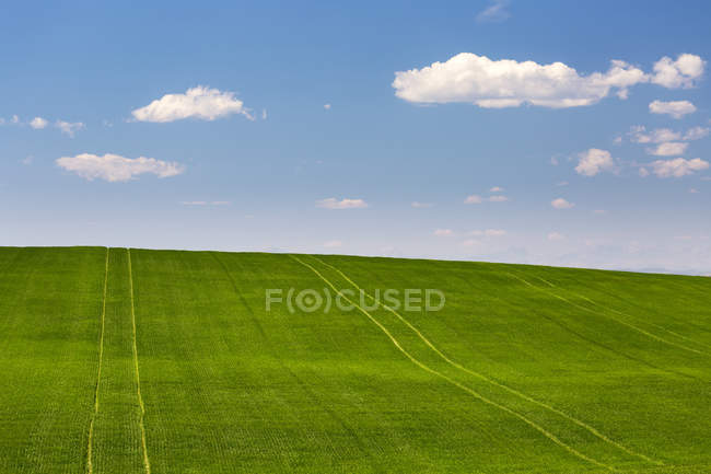 Rolling green grain field with blue sky and clouds, North of Calgary, Alberta, Canadá. - foto de stock