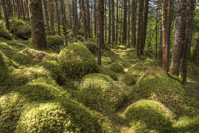Old growth forest with Sitka spruce and hemlock, Tongass National Forest, Southeast Alaska; Alaska, United States of America — Stock Photo