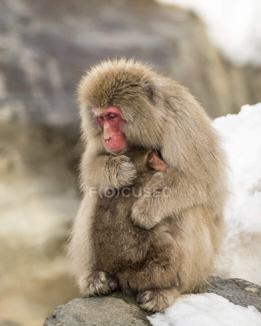 Snow Monkey (Macaca fuscata), also known as Japanese Macaque, holding baby in a loving embrace to help it keep warm; Nagano, Japan — Stock Photo