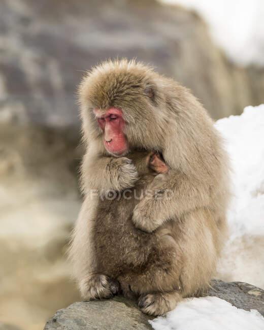 Снежная обезьяна (Macaca fuscata), также известная как японский макак, держит ребенка в любящих объятиях, чтобы согреть его; Нагано, Япония — стоковое фото