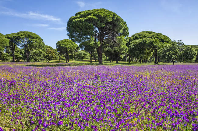 Purple flowers growing in a field with trees and blue sky in the background, Spain — Stock Photo