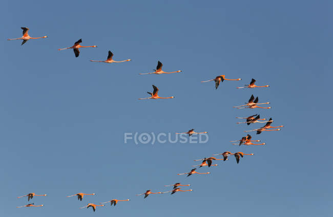 American Flamingos  flying in a V formation at sky — стокове фото