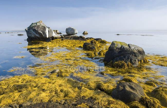 Роквид вдоль Атлантического побережья, залив Фели, Бланш, Новая Скотия, Канада — стоковое фото