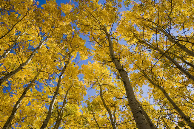 Autumn colored aspen trees, bottom view — Stock Photo