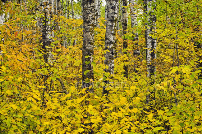 Autumn, deciduous forest, Riding Mountain National Park, Manitoba, Canada — Stock Photo