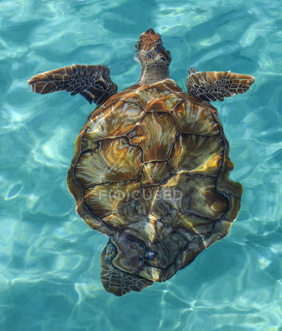 Tortuga nadando en aguas cristalinas y turquesas del Caribe. - foto de stock