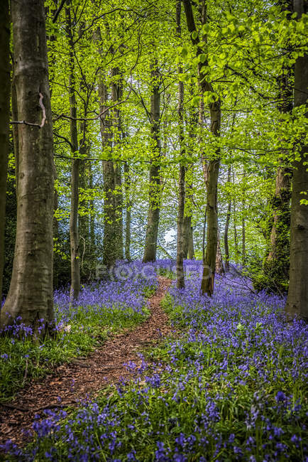 Path through woodland bluebells, Great High Wood; Durham, County Durham, England — стоковое фото