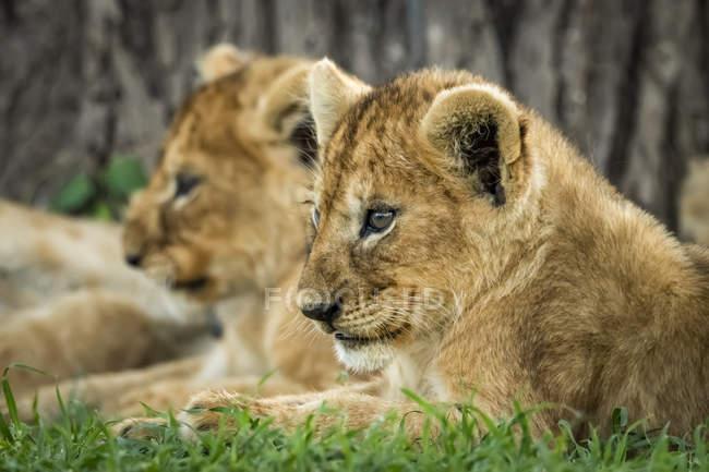 Крупним планом Левові дитинчата лежать поруч один з одним на дикій природі — стокове фото