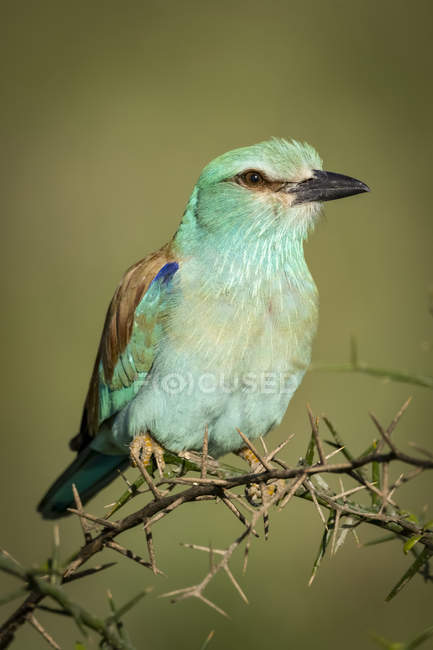 European roller on thorn branch, blurred background — стокове фото