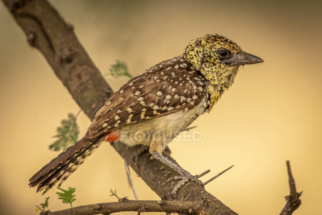 Yellow-throated longclaw in profile on dead branch — Stock Photo