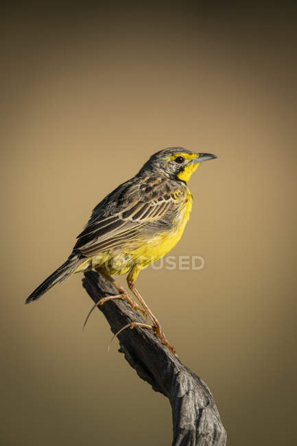 Yellow-throated longclaw in profile on dead branch — Foto stock