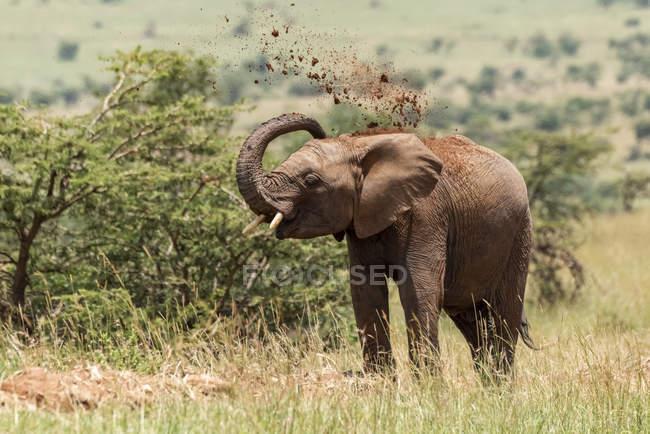 Hermoso elefante africano gris en la naturaleza salvaje arrojando tierra, Parque Nacional del Serengeti; Tanzania - foto de stock