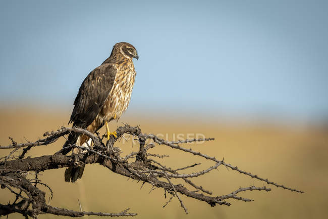 African marsh harrier perched on bare branch - foto de stock