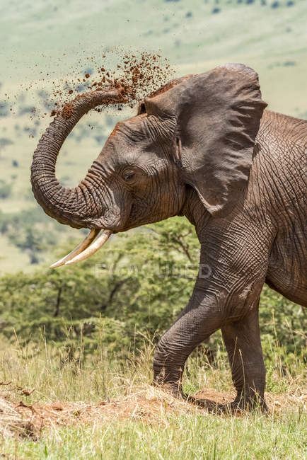 Beautiful grey African elephant in wild nature throwing dirt, Serengeti National Park; Tanzania — Stock Photo
